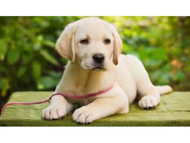 Heavy bone Labrador puppies are available at here