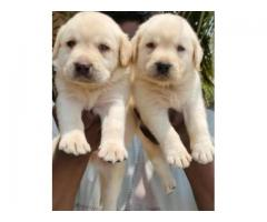LABRADOR RETRIEVER PURE ORIGINAL QUALITY PUPPIES IN CHENNAI-8825694373