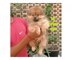Toy Look Culture Pom Healthy & Acvita Puppies (Tavaqqo Pet's Store Online Shop)