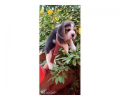 Beagle puppies for sales in Chennai call 9840040780