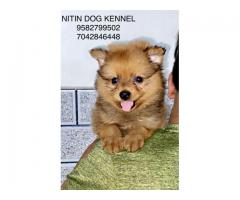 Culture toy pom puppy available for new home 9582799502 , 7042846448