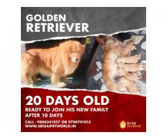 Buy Golden Retriever pups 9888341827