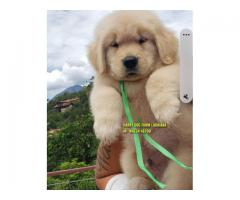 Import Line Golden Retrievers Top Class Puppy In Palampur