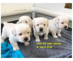 Heavy Quality LABRADOR Puppy In Palampur Himchal Pradesh
