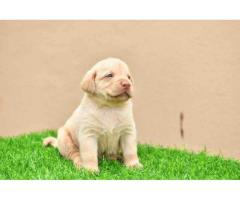Labrador home puppies for sale...heavy bone...thick coat