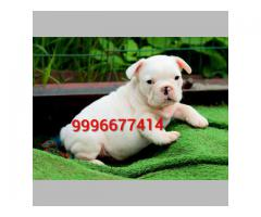 Show quality French bulldog puppies