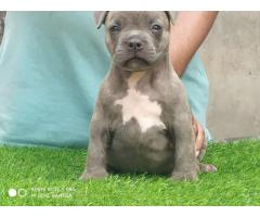 American pitbull puppy in india , American pitbull puppies in Delhi