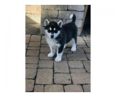 Alaskan Malamute puppies for new homes