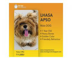 Lhasa Apso male dog, 1-year-old - 9888341827