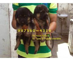 Imported Quality GERMAN SHEPHERD Dogs sale At ~ RANCHI