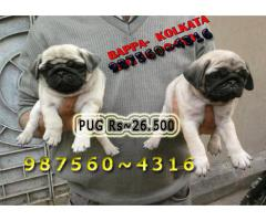 Imported Quality Vodafone PUG Dogs sale At ~ BOKARO