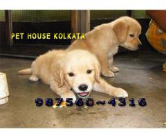 Imported Quality GOLDEN RETRIEVER dogs Sale At ~GUWAHATI