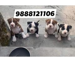 American bully puppy buy in jalandhar city top quality heavy bonn puppy available