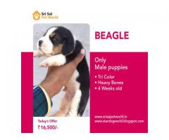 Get outstanding Quality BEAGLE puppies in India