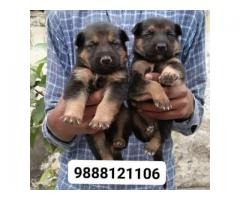 German shepherd puppy available in jalandhar city pure Breed top quality heavy bonn puppy available
