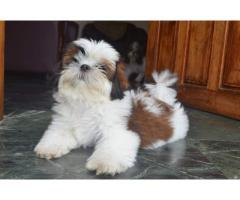 #shihtzu puppies
