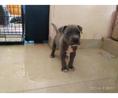 Good quality pitbull puppies available 9080973506