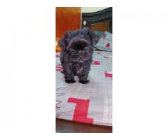 Black Lhasa Apso Puppies For Sale Tavaqqo Pet's Store