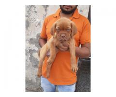 French Mastiff Pups For Sale Tavaqqo Pet's Store