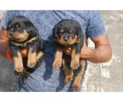 Rottweiler Pups Ready For Sale Tavaqqo Pet's Store