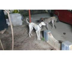Caravan Hound Dogs 12 Months old with KCI Certificate and Micro Chip