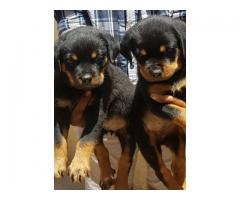 ROTWEILER TOP QUALITY HEAVY SIZED PUPPIES AVAILABLE IN CHENNAI-8825694373