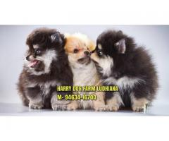 Excellent Quality Toy Pom Puppy In Chandigarh