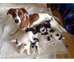 Jack Russell Puppies For Sale Tavaqqo Pet's Store