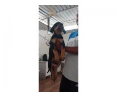 Female Rotteweiler for sale