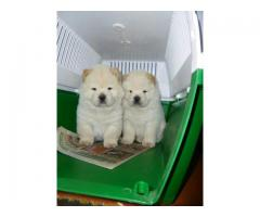 The Unique Pet Shop For Lovely Dog Chow chow Puppies For Sale