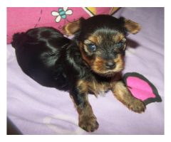 The Unique Pet Shop For Lovely Dog Yorkshire terrier Puppies For Sale