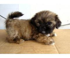 The Unique Pet Shop For Lovely Dog Lhasa apso Puppies For Sale