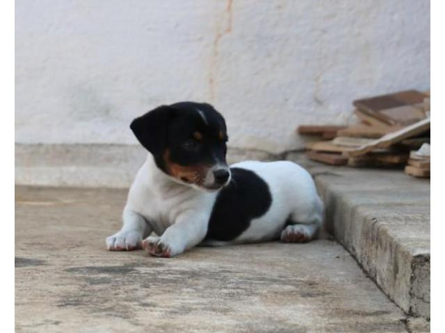 Khwabeeda Dreamy Pet's  Jack Russell Puppies For Sale