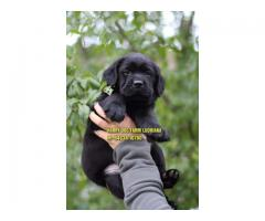 Z Black Labrador Puppies Available In Muktsar sahib Pujnab