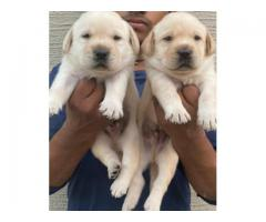 LABRADOR RETRIEVER SHOW QUALITY PUPPIES AVAILABLE IN CHENNAI-8825694373