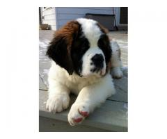 PURE QUALITY AWESOME AND PURE SAINT BERNARD AVAILABLE IN DELHI CALL OR WHATSAAP 7042450221