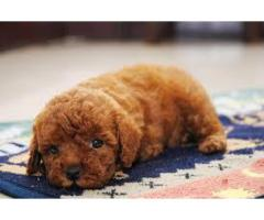 pure toy poodle and cute puppy available in delhi ncr 7042450221 call me and whats app now
