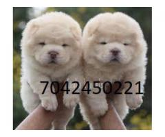 fully heavy bone chow chow male and female available in delhi ncr 7042450221 call me now