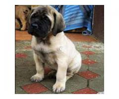 ENGLISH MESTIFF AVA.FOR SALE @ DOGS KENNEL