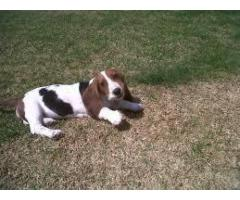 BASSET HOUND AVA.FOR SALE @ DOGS KENNEL