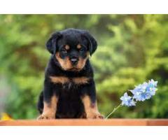 ROTTWEILER AVA.FOR SALE @ DOGS KENNEL