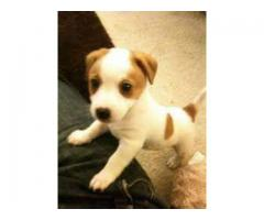 jack russle terrier AVA.FOR SALE @ DOGS KENNEL