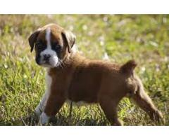 boxer puppies  AVA.FOR SALE @ DOGS KENNEL contact 8178402669