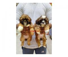 Khwabeeda Dreamy Pet's  Show Class Quality LhasaApso Puppies For Sale
