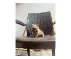 Tavaqqo Pet's Store Show Class Quality High Pedigree Pom Puppies For Sale..