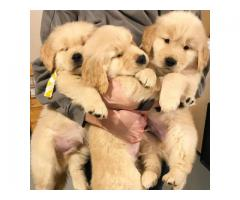 Cute male and female Golden Retriever puppies available