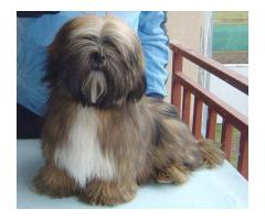 Lhasa Apso Pups For Sale Best Quality Best Prize  More Details 8882234770