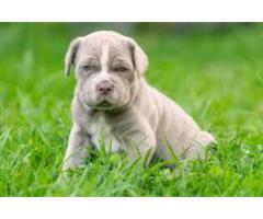 neo.mestiff  AVA.FOR SALE @ DOGS KENNEL