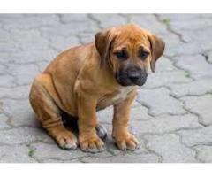 boerboel  AVA.FOR SALE @ DOGS KENNEL