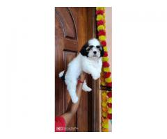 Shihtzu puppies for sales in chennai call 7200040780